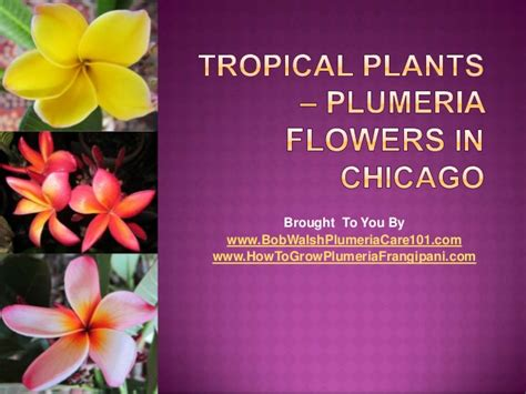 tropical plants plumeria flowers in chicago - Tropical Plants Chicago