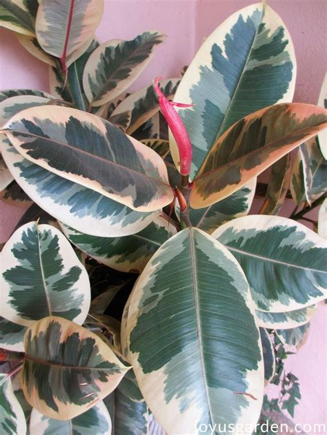 rubber plant growing tips   easy care indoor tree