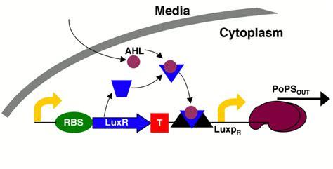r protein operon team cambridge projectbioluminescence luciferase