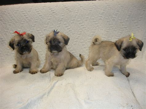 micro teacup puppies micro teacup pug puppies