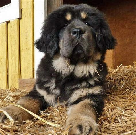 rottweiler cross 12 rottweiler cross breeds you to see to believe