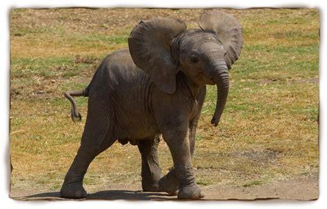botanical name of elephant common name elephant scientific name loxodonta thinglink