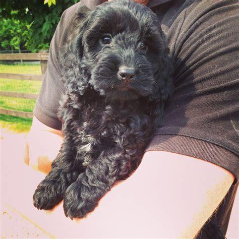 black cockapoo puppy pin cockapoo puppy sale on
