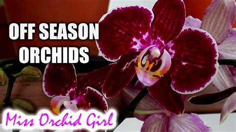 when will off season orchids bloom orchid nature
