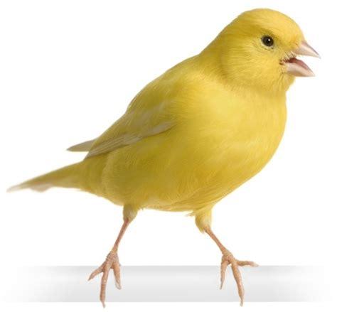Harga Pakan Burung Kenari Yang Bagus koperasi sumber jaya melatih mental burung kenari agar