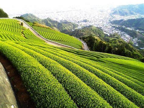 wallpaper green tea green tea wallpapers wallpaper cave