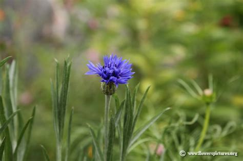 flower pictures cornflower picture 21