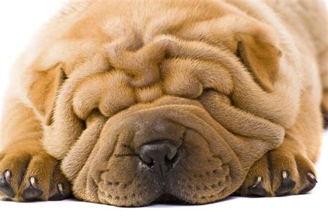 wrinkly puppies the most scrumptiously wrinkly dogs on the