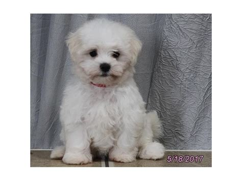 petland ohio puppies maltese petland carriage place
