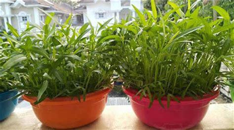 cara menanam sayur dan buah buahan hidroponik sederhana di cara membuat tanaman hidroponik di rumah untuk pemula