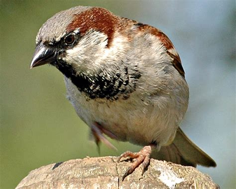 house sparrow reddish vale country park