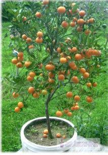 tabulot jeruk siam cara mudah budidaya jeruk siam di dalam pot info tanaman buah