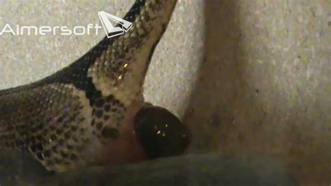 Stool Comes Out In Balls python pooping