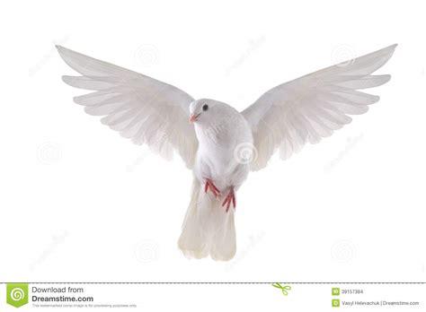 imagenes de palomas blancas en vuelo paloma que vuela foto de archivo imagen de esperanza
