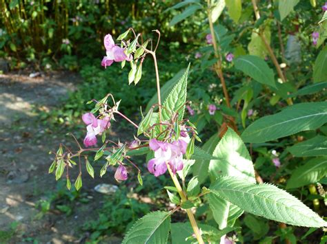 guildford amp waverley friends of the earth   help us to eradicate himalayan balsam along the