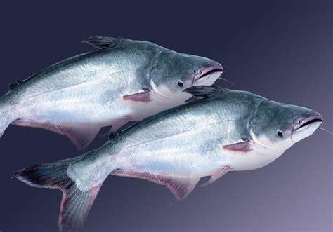 Makanan Ikan Hias Patin ikan patin budidaya ikan ikan hias resep ikan