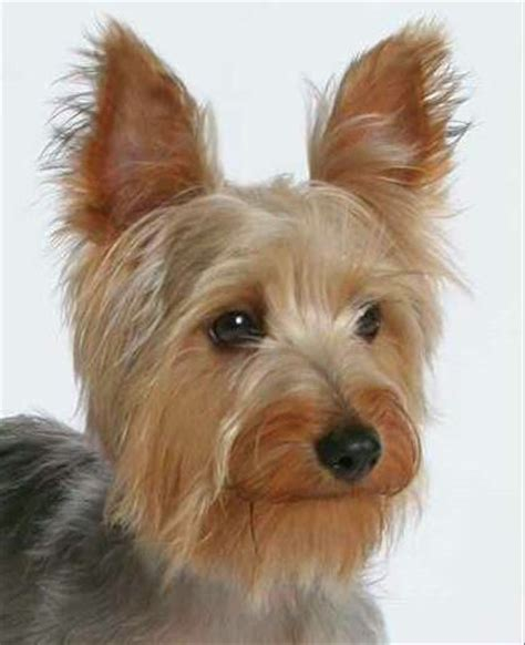 silky terrier puppies silky terrier www imgkid the image kid has it
