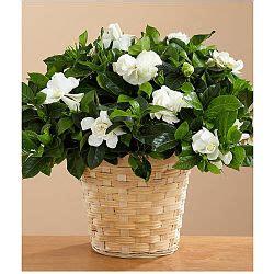 gardenia in vaso come curare la gardenia avr 242 cura di te