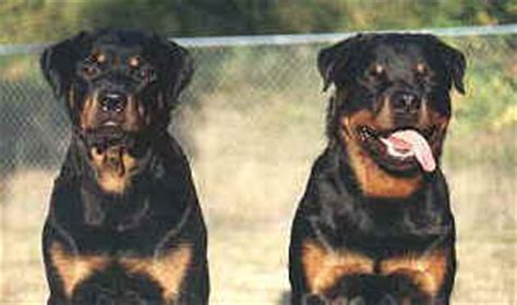 largest rottweiler on record largest rottweiler breeds picture