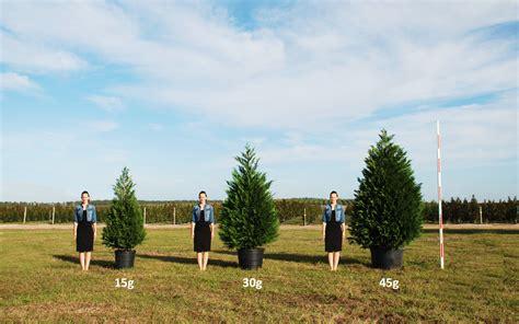 how big is a leyland cypress cherrylake