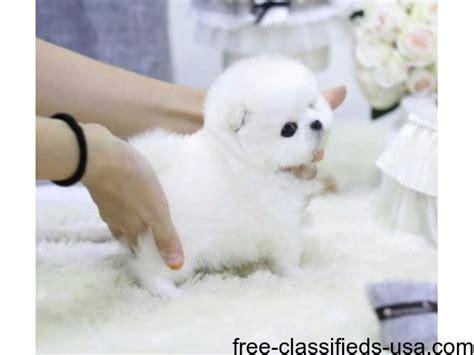 maltese puppies for sale in florida 500 akc tiny pomeranian yorkie and maltese puppies animals boynton florida