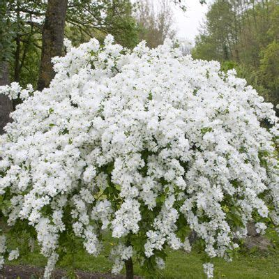 shrub with small white flowers in 1000 ideas about flowering shrubs on shrubs