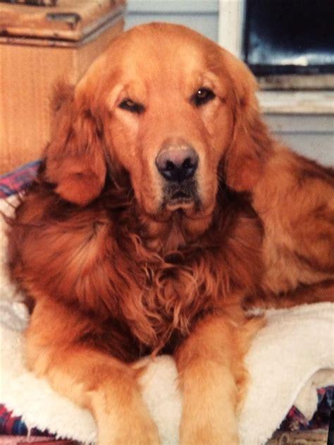 copper golden retriever puppies pin by erin davis on golden retrievers