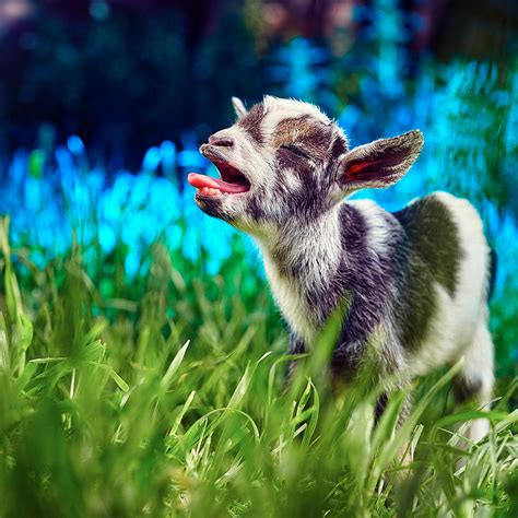 Kid Duvet Baby Goat Kid Singing Photograph By Tc Morgan