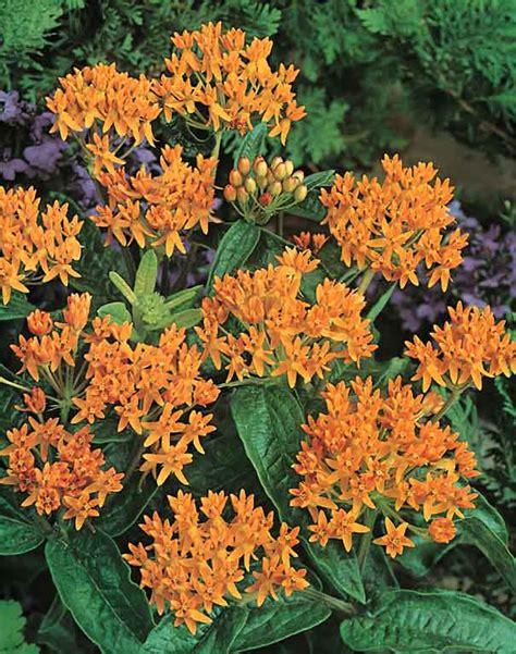 Butterfly Garden Seeds by Butterfly Seeds Asclepias Perennial Flower Seeds