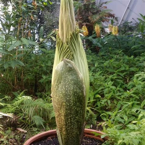 Corpse Flower Botanic Gardens by Another Corpse Flower Set To Bloom At Adelaide Botanic