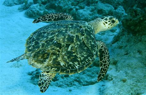 kemps ridley sea turtle l truly sad our breathing planet