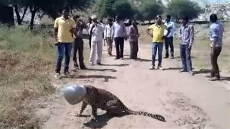 Panci India macan tutul india ini terjebak dalam panci ini fotonya