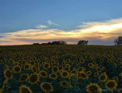 grinter farms five tips for visiting grinter farms sunflower field in kansas in johnna s kitchen