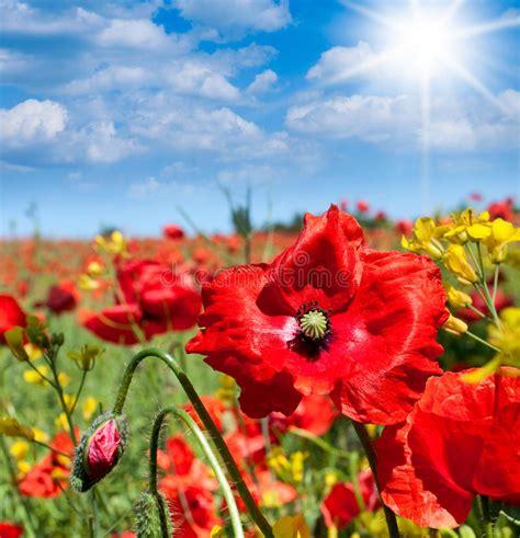 imagenes flores salvajes flores salvajes de las amapolas foto de archivo imagen