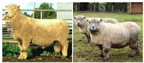 mengetahui jenis jenis kambing  domba  indonesia