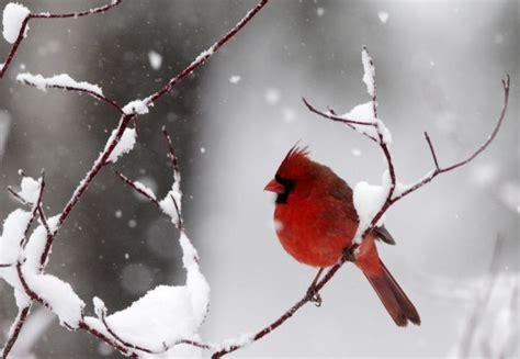 do birds get cold feet startribune com