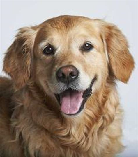 dogs trust golden retriever dogs rehoming adoption charity dogs trust