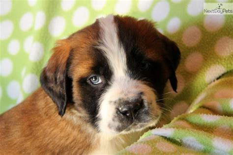 st bernard puppies for sale near me theo bernard bernard st bernard puppy for sale near lancaster