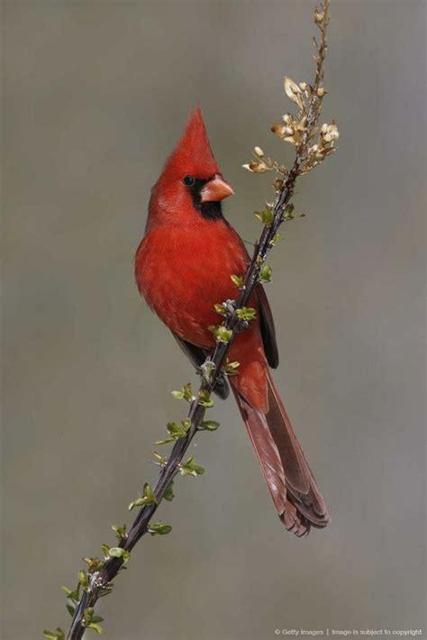 state bird of carolina northern cardinal state bird of carolina birds of