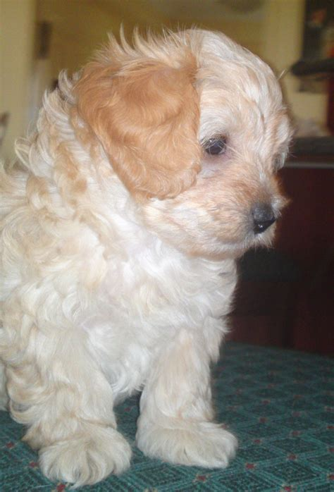 maltese poodle puppies for sale maltese x poodle puppies for sale in frankston doggish image breeds picture