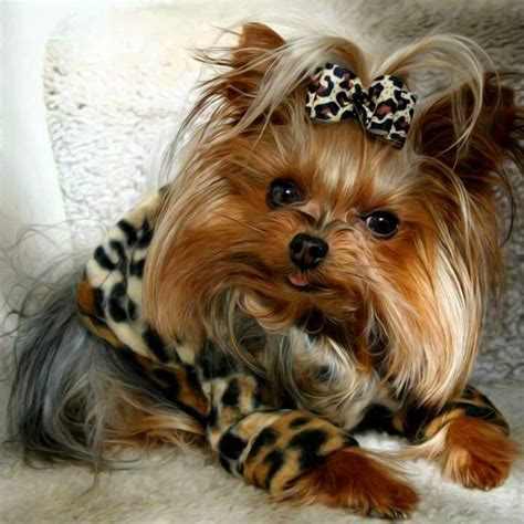 everything yorkie 17 best images about i 4yorkies and a st bernard shepherd mix they are my