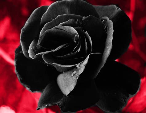 Black Roses Flowers Of Death Cabbage Roses Black Roses For