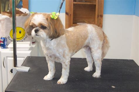 shih tzu haircuts teddy shih tzu summer haircuts blackhairstylecuts