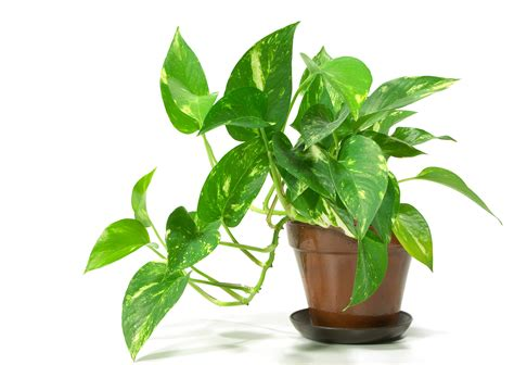 plants in house names and pictures of house plants www pixshark com
