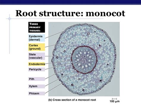 monocot root diagram chapter 24 plant structure and function ppt