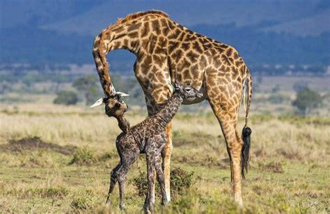 imagenes de jirafas bebés 25 curiosidades de la jirafa que desconoc 237 as planeta curioso