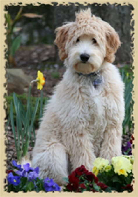 labradoodle puppies for sale in alabama southern charm labradoodles american and australian labradoodle puppy breeder