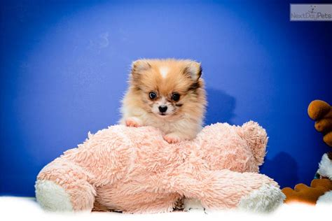 teacup pomeranian puppies california in los angeles california for adoption or breeds