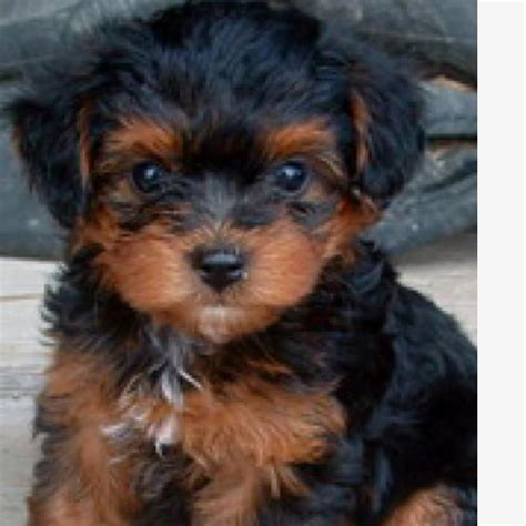brown yorkie poo black and brown yorkie poo hairstylegalleries