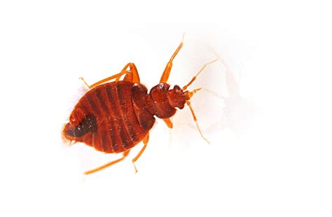 tiny red bugs in bed small red bed bugs home design